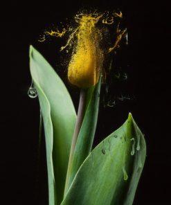 Dissolving Tulip - Erik Brede